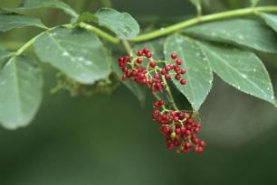 elderberry tea benefits